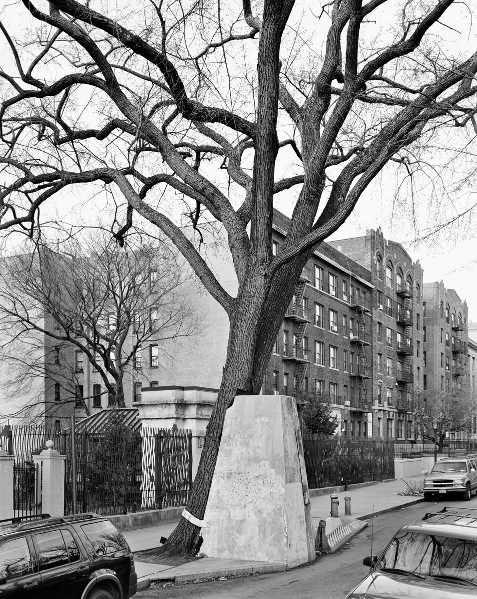 American Elm, Eastern Parkway, Brooklyn 2012