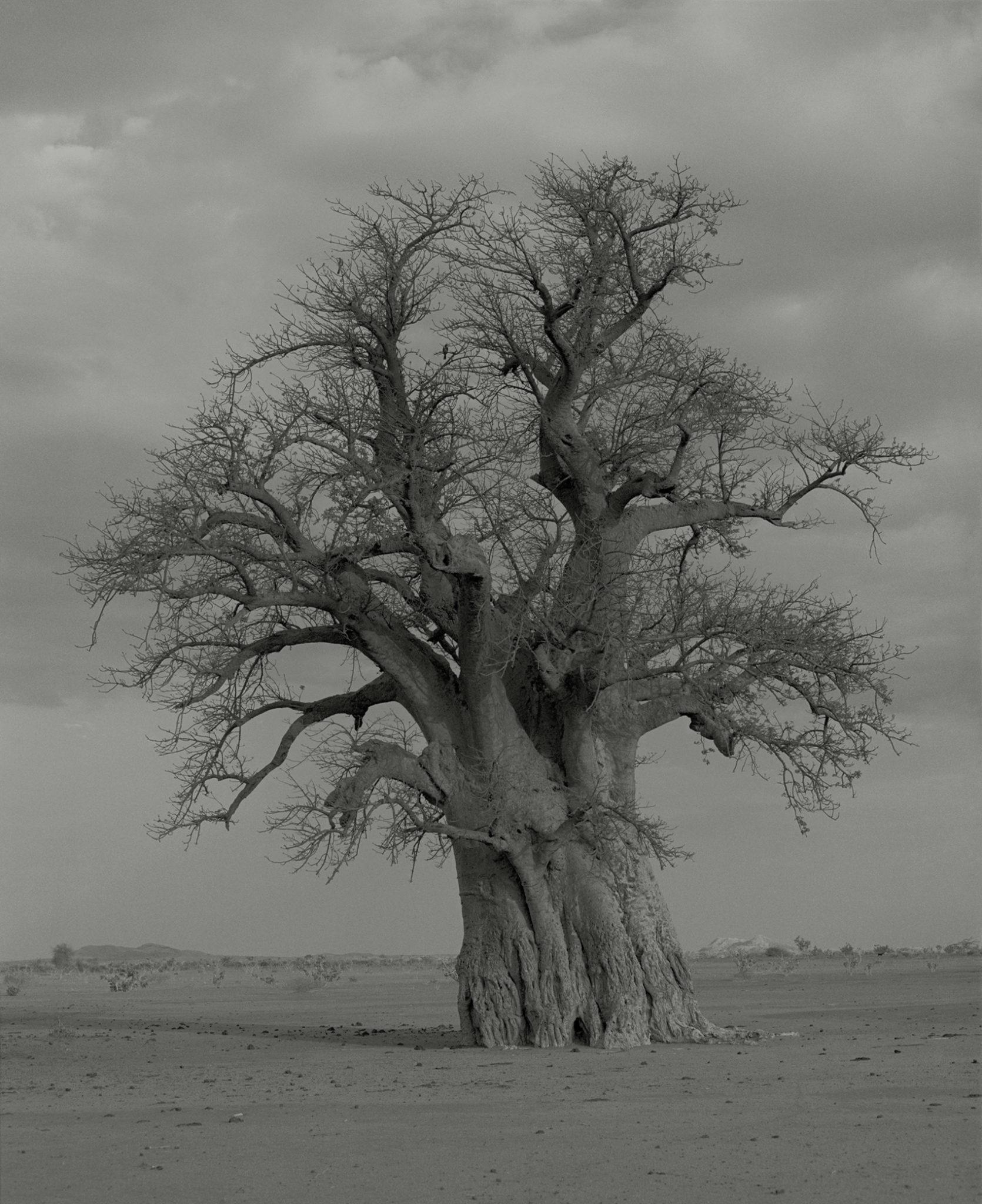 Claude Iverné-Baobab