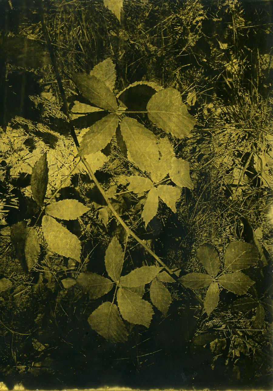 Anaïs Boudot, sans titre (chataîgner), série La noche oscura (Épilogue), 2018, courtesy Galerie Binome tirage unique dans une édition de 3 (+1EA) – 21×15 cm tirage argentique sur plaque de verre, peinture dorée, châssis bois noir