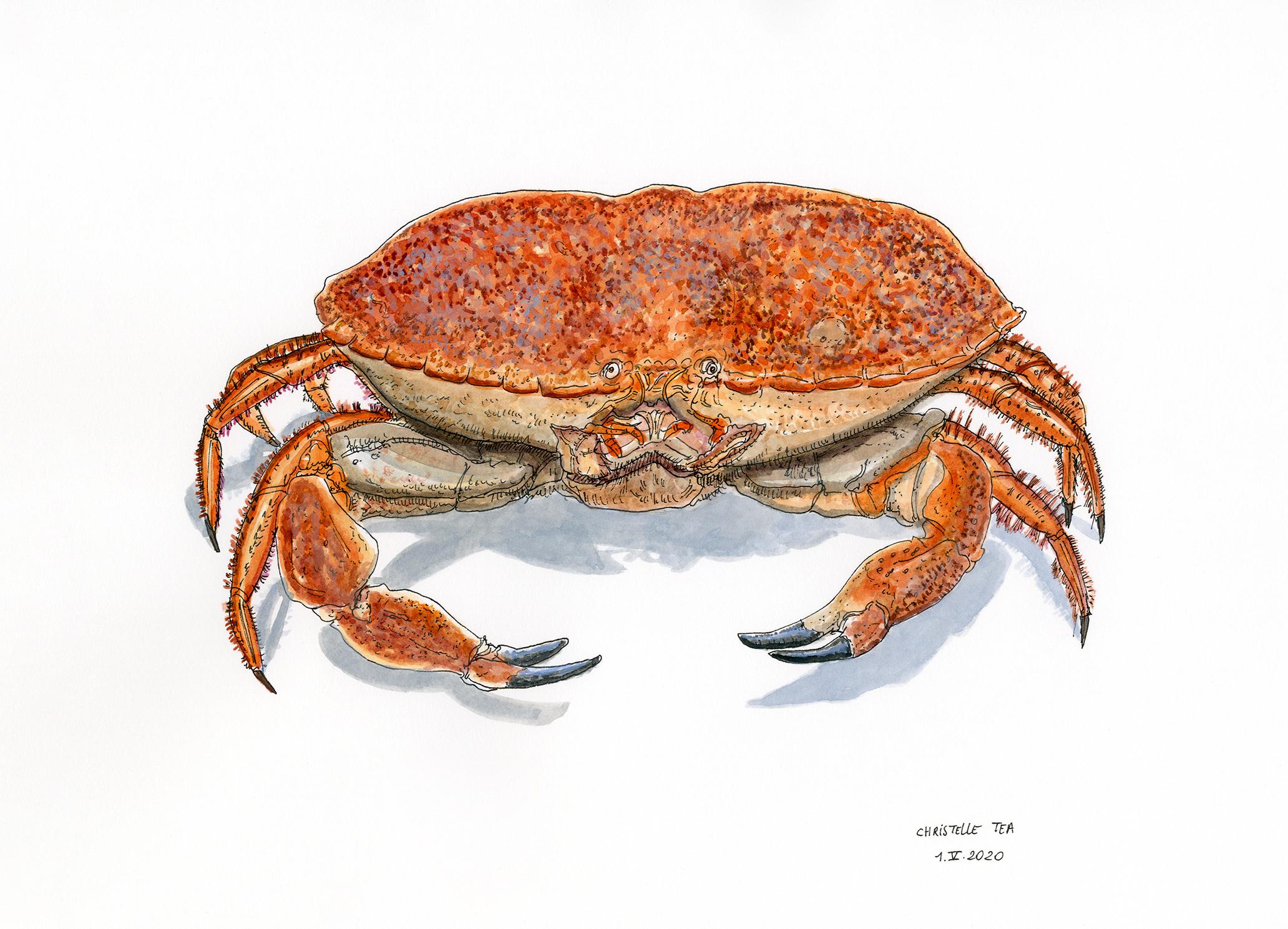 Crabe cuit, 1.V.2020. Encre de Chine et aquarelle sur papier, 26 x 36 cm. Collection particulière.